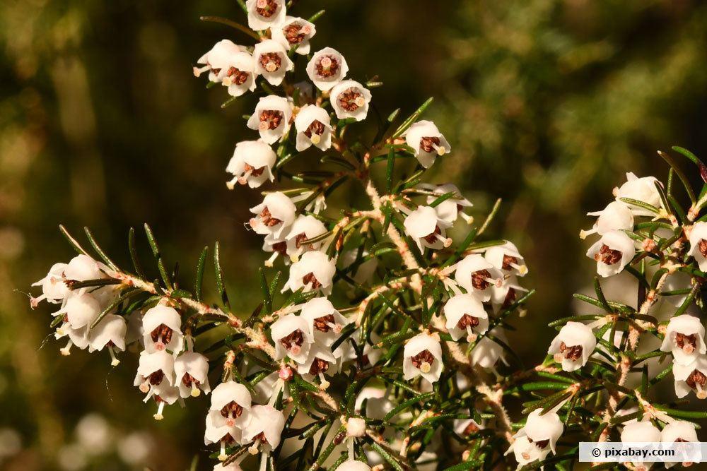 Baumheide, Erica arborea