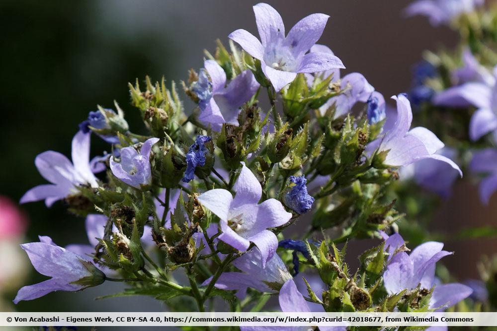 Garten-Dolden-Glockenblume. Campanula lactiflora