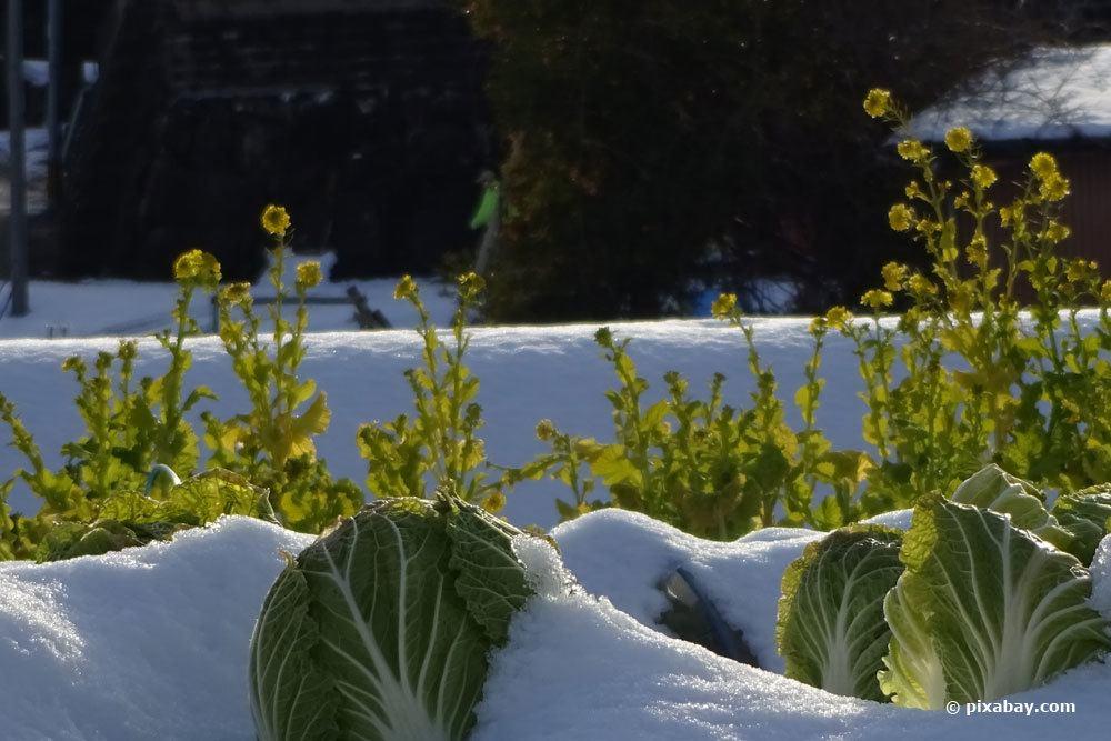 Chinakohl, Brassica rapa subsp. pekinensis