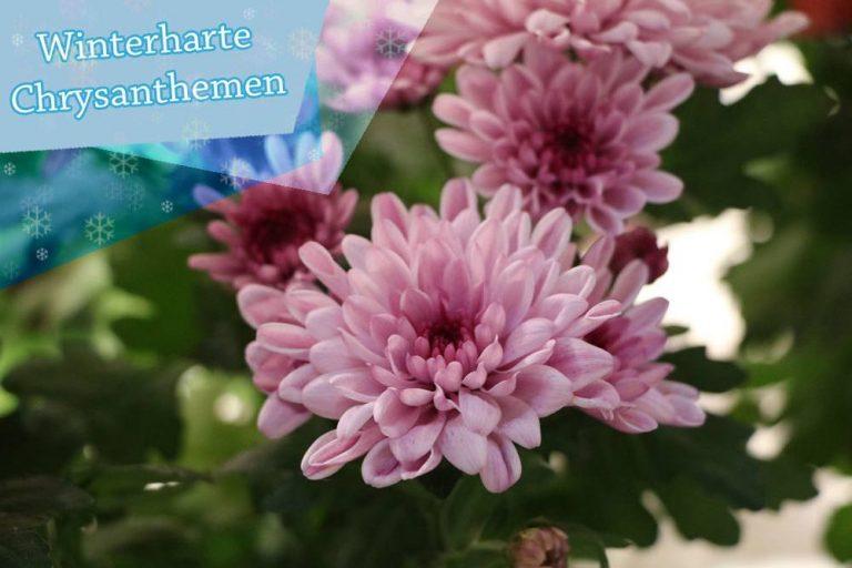 Sind Chrysanthemen winterhart?