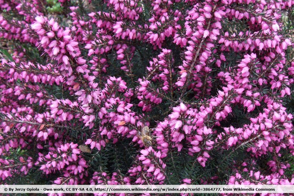 Erica × darleyensis 'Kramer`s Rote'