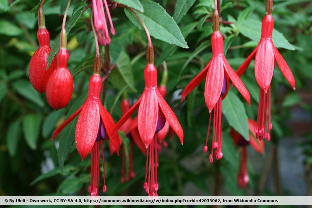 winterharte Fuchsie 'David'