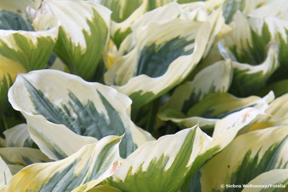 Funkien eignen sich als winterharte Kübelpflanzen