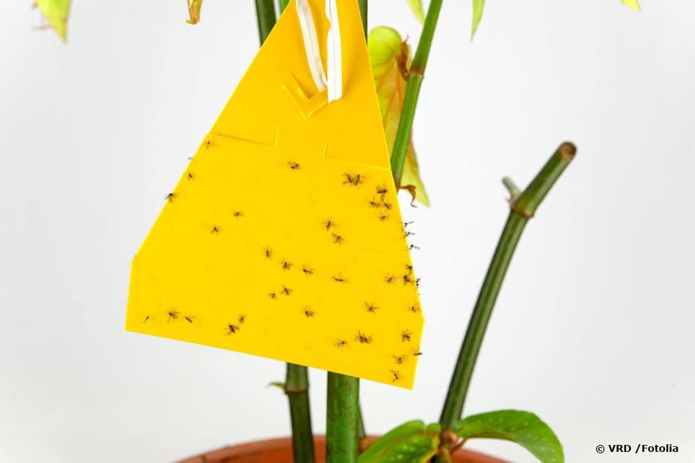 Gelbsticker gegen Trauermücken