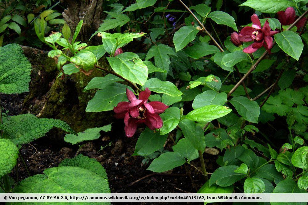 Gewürzstrauch 'Hartlage Wine', Calycanthus raulstonii