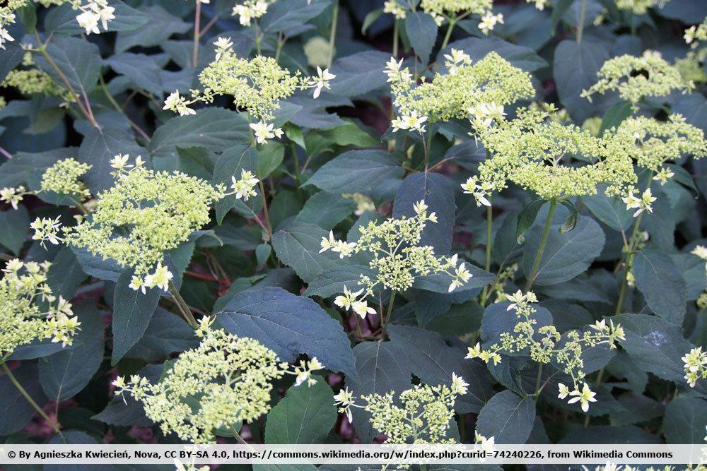 Schneeballhortensie, Hydrangea arborescens 'Hayes Starburst'