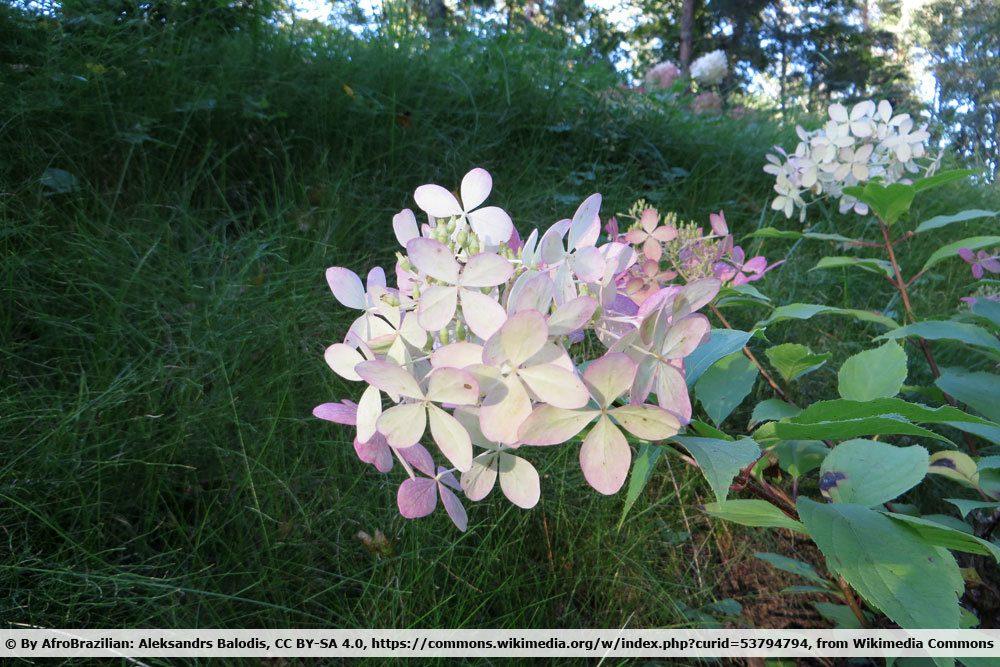 Rispenhortensie, Hydrangea paniculata 'Phantom'
