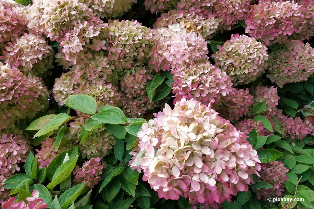 Rispenhortensie, Hydrangea paniculata 'limelight'
