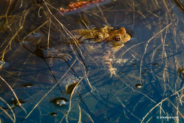 Wann laichen Kröten und Frösche?