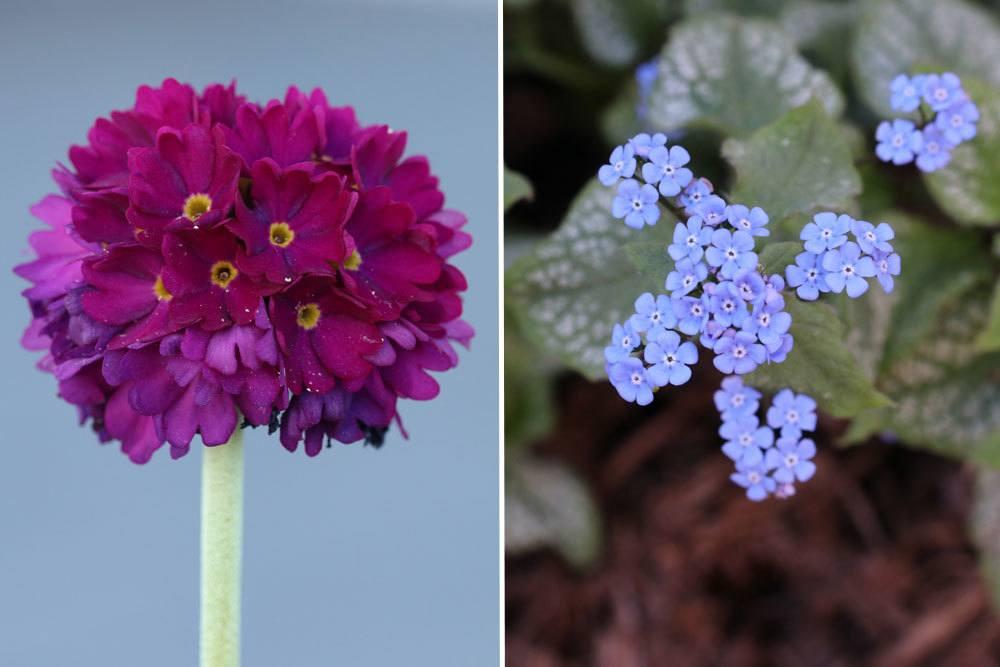 Kugel-Primel, Primula denticulata;Kaukasus-Vergissmeinnicht ,Brunnera macrophylla sind winterharte Stauden