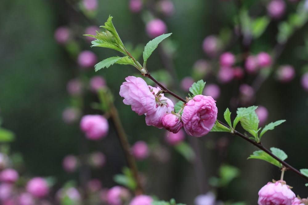 Mandelbäumchen, Prunus triloba als winterharte Kübelpflanzen