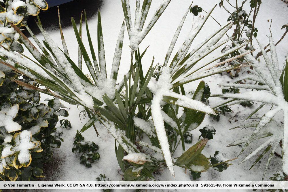 Nadelpalme, Rhapidophyllum hystrix