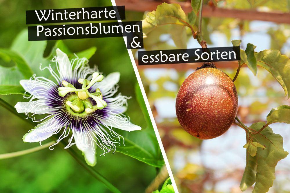 winterharte und essbare Passionsblumen