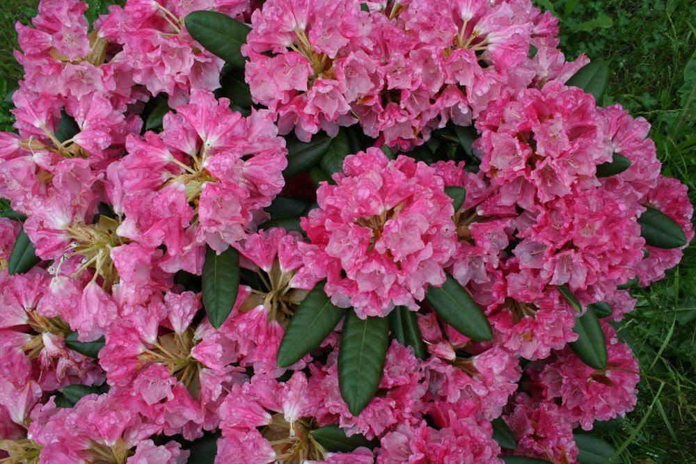 Rhododendron yak. 'Kalinka'