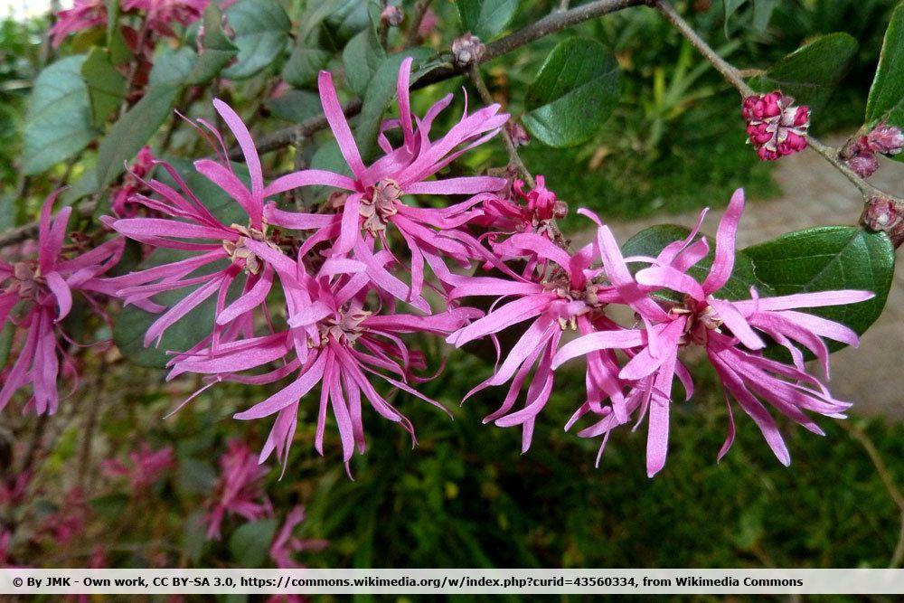 Riemenblüte, Loropetalum chinense als winterharte Pflanze für den Kübel