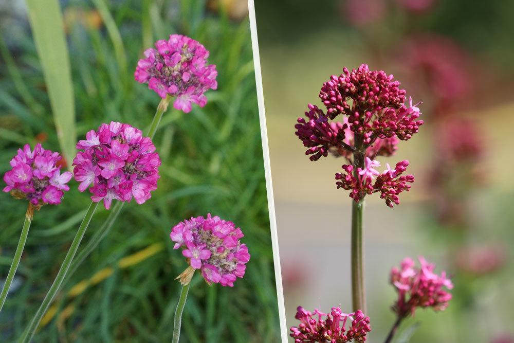 Grasnelke, Armeria alpina, Purpur-Scheinsonnenhut Echinacea purpurea