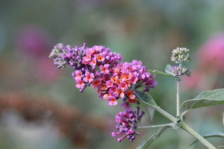 Schmetterlingsstrauch, Buddleja davidii