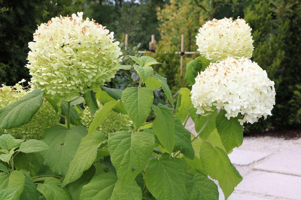 Schneeballhortensie, Hydrangea arborescens 'Annabelle