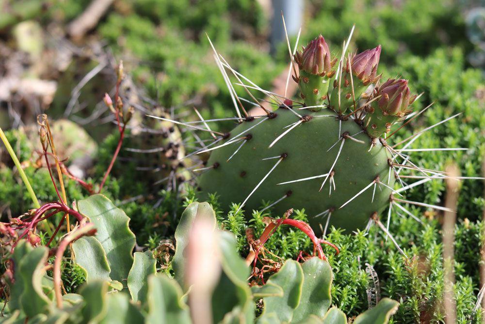 Schwarzbraundorniger-Feigenkaktus ,Opuntia phaeacantha