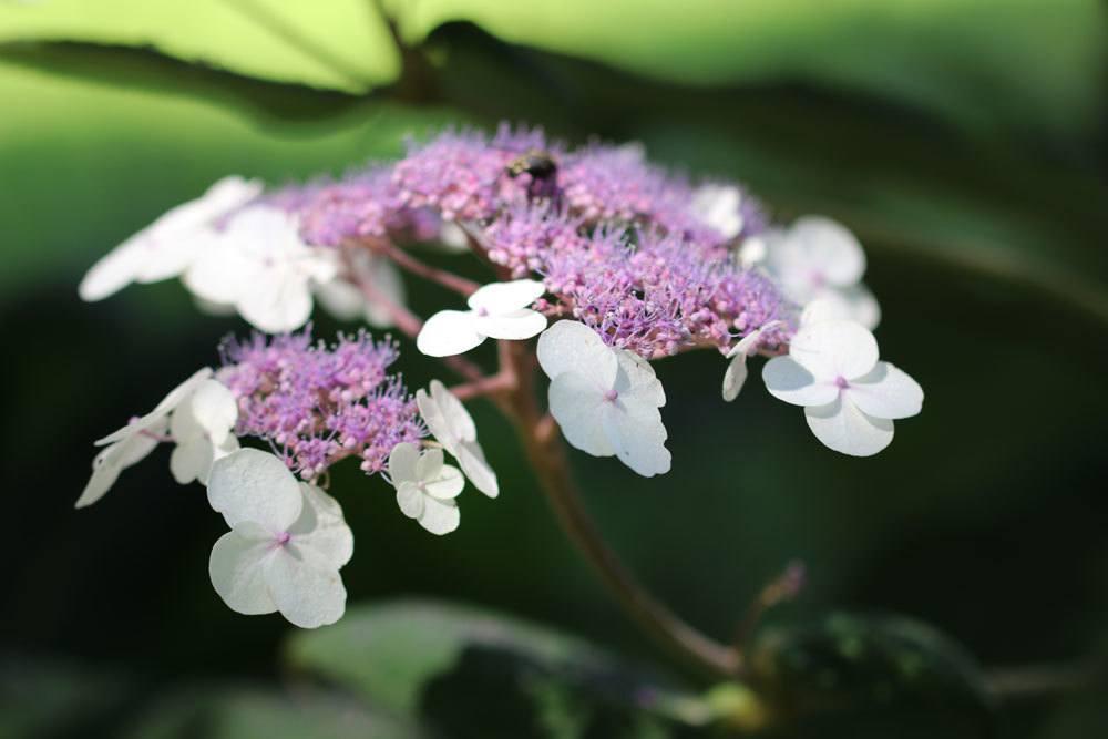 Tellerhortensie, Hydrangea serrate 'Lanarth White'