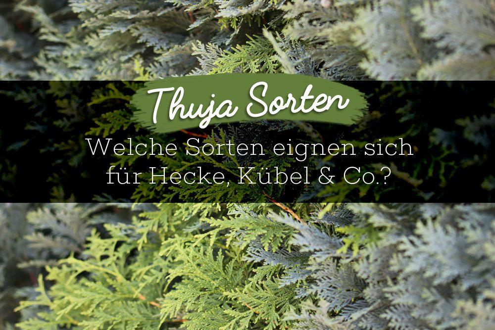 Thuja Sorten