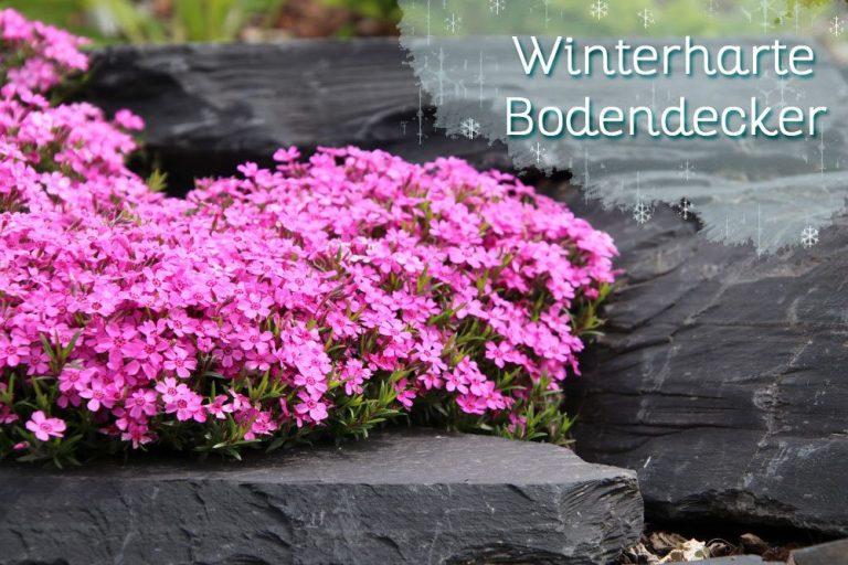 Winterharte Bodendecker