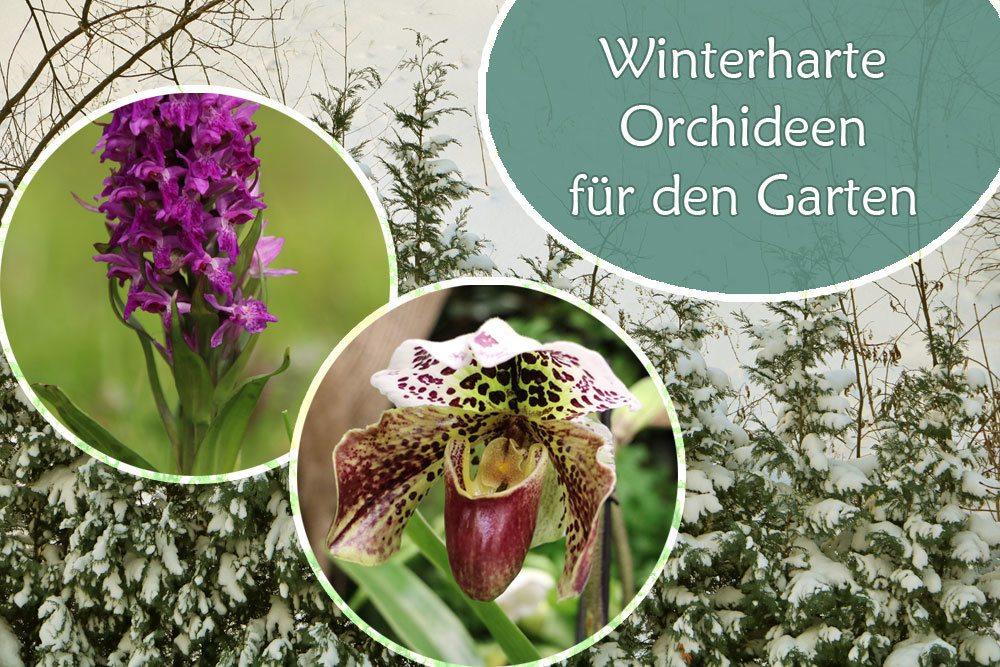 Winterharte Orchideen