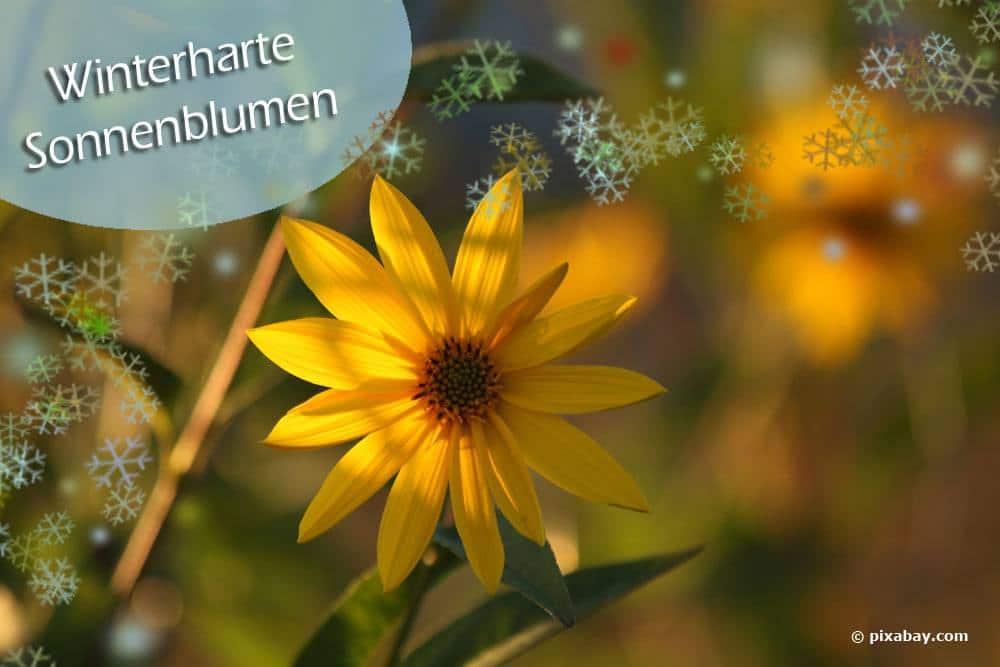 Winterharte Sonnenblumen