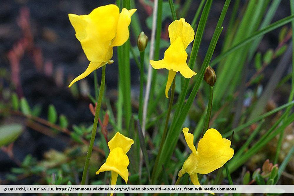 gehörntes Blasenkraut, Utricularia cornuta
