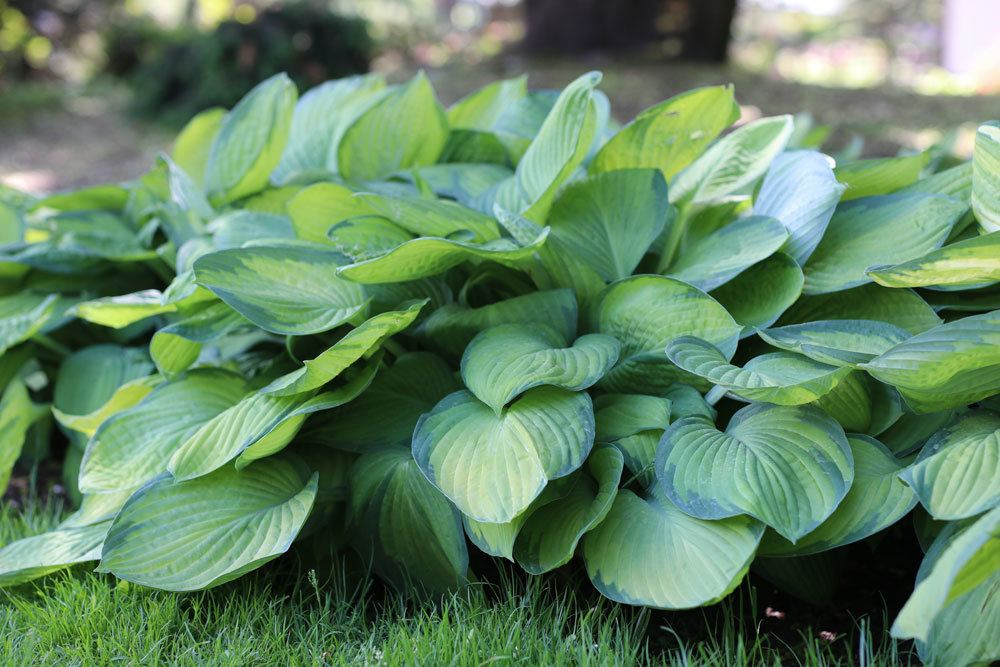 Blau-Gold-Funkie 'June', Hosta tardiana