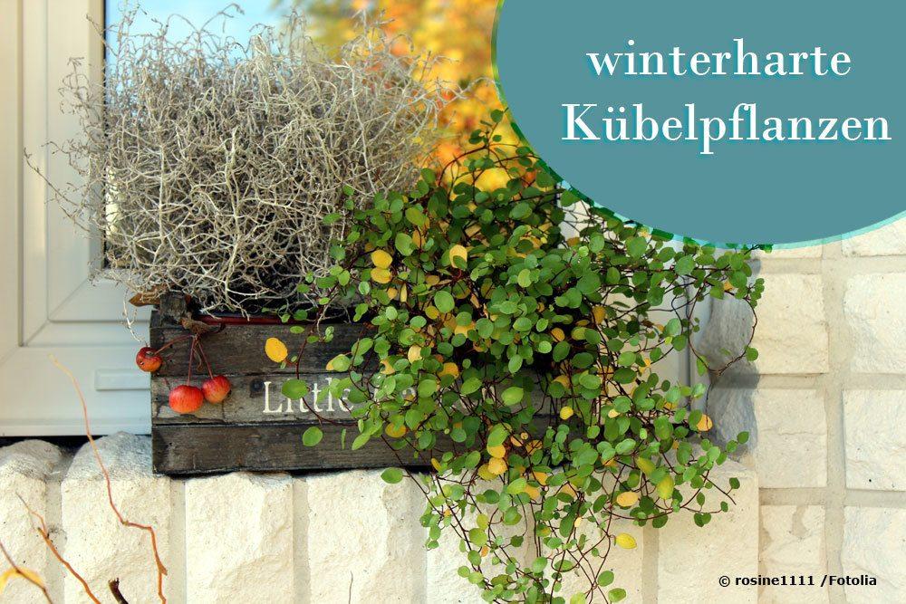 winterharte pflanzen fuer kuebel  ideale kuebelpflanzen