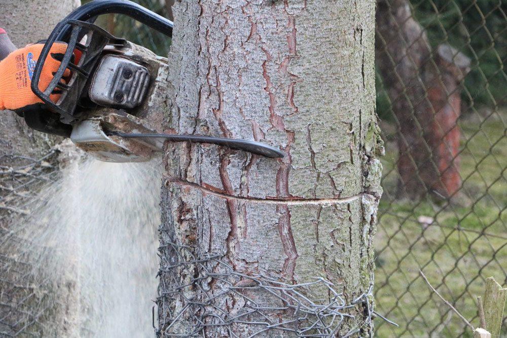 Baum fällen im Winter
