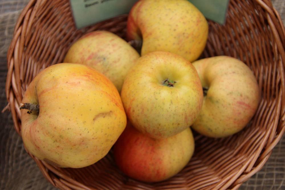 Alte Apfelsorte Berlepsch