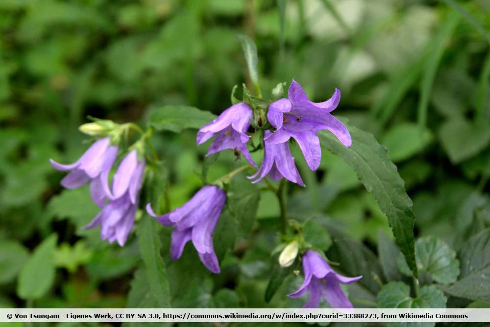 Nesselblättrige Glockenblume, Campanula trachelium