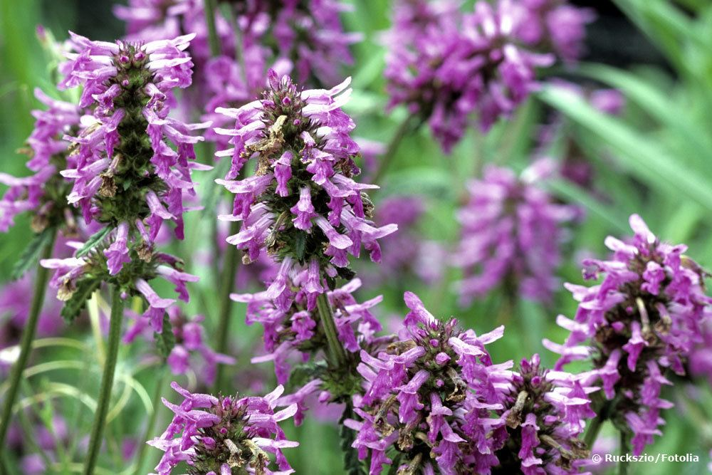 Heil-Ziest, Stachys officinalis