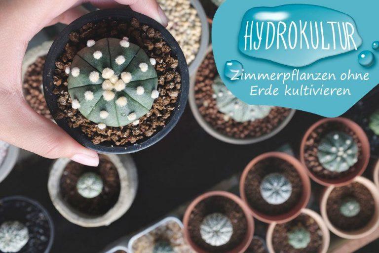 Hydrokultur bei Zimmerpflanzen