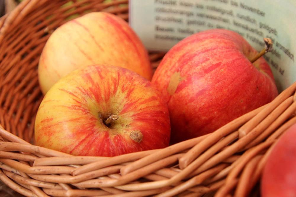 Alkmene ist eine süße und alte Apfelsorte