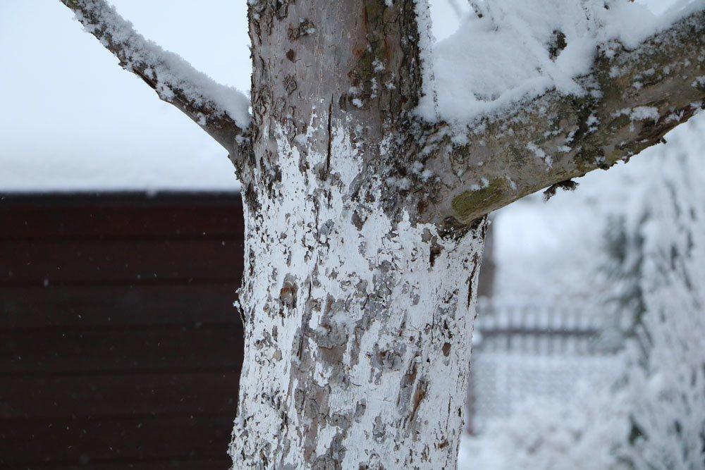 Kalkanstrich als Winterschutz