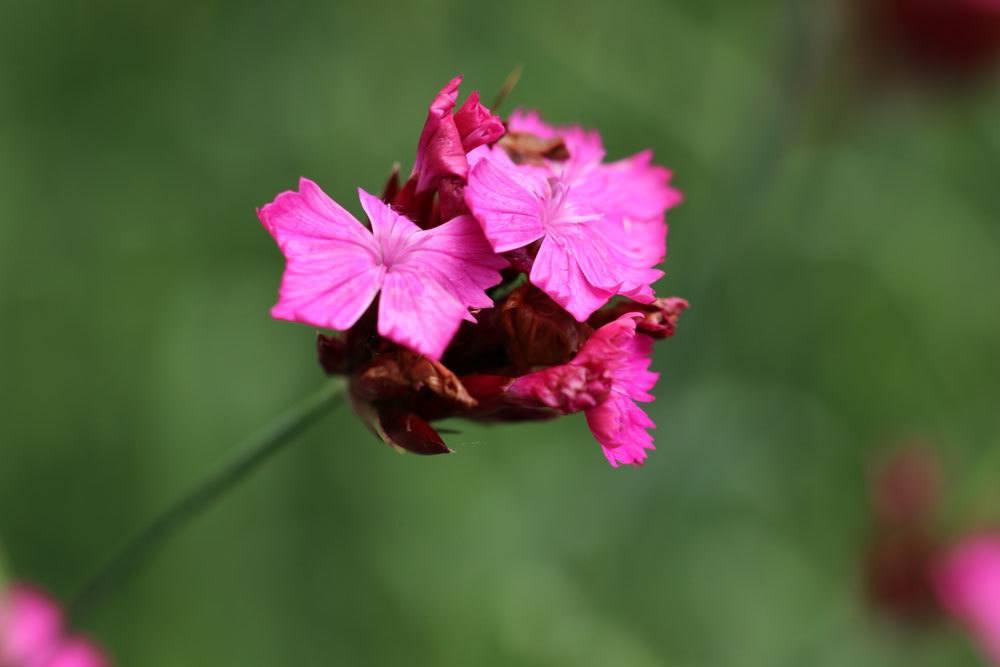 Kartäusernelke, Dianthus carthusianorum