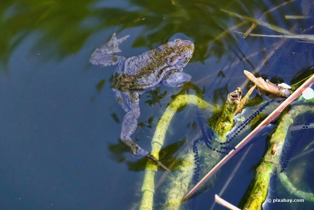 Kröte mit Laich im Teich