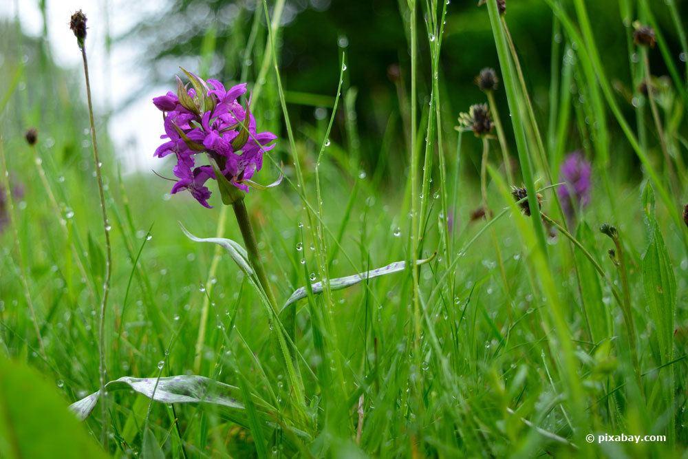 Männliches Knabenkraut (Orchis mascula