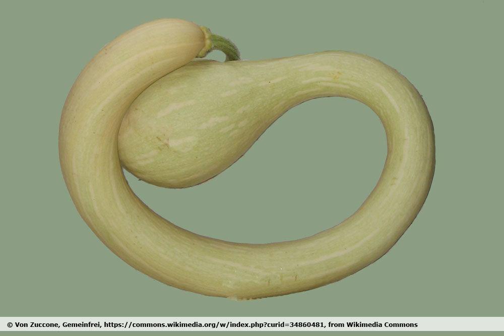 Schlangenkürbis trombetta