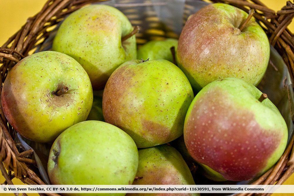 Zuccalmaglios Renette Apfelsorte