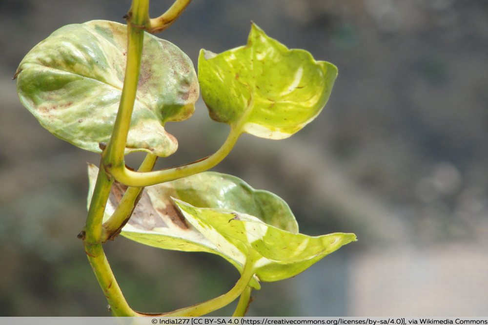 Bräunliche Blätter an Efeutute