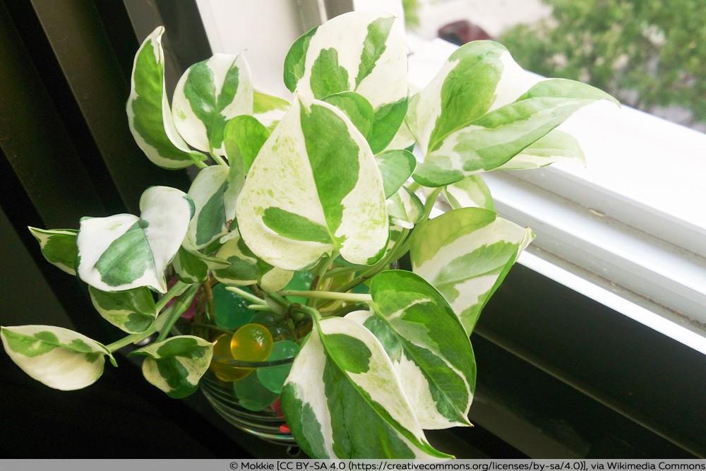 Efeutute als Zimmerpflanze am Fenster