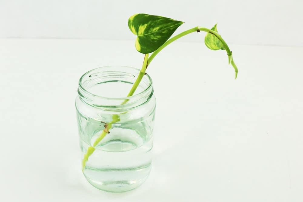 Steckling der Efeutute in Wasserglas