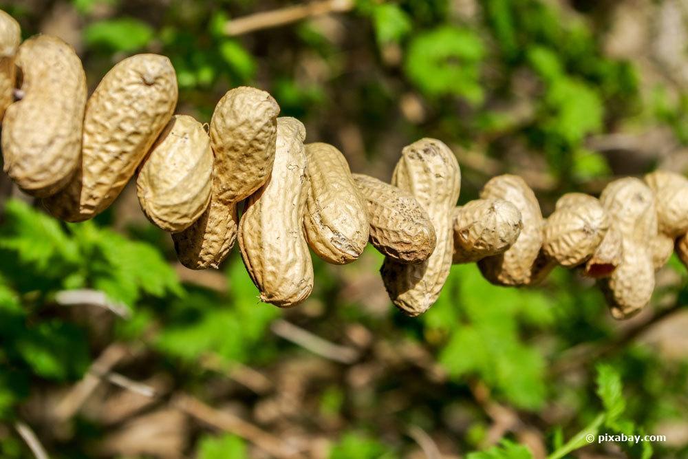 Erdnüsse als Vogelfutter auf einer Kette auffädeln