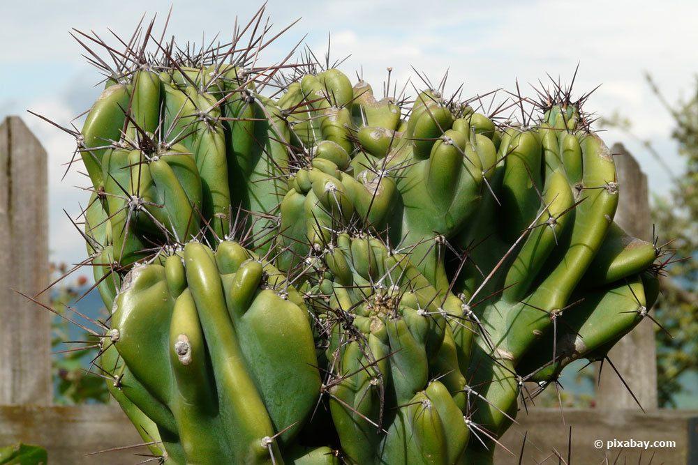 Felsenkaktus, Cereus peruvianus