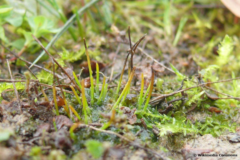 Gelb-Hornmoos, Phaeoceros laevis subsp. carolinianus