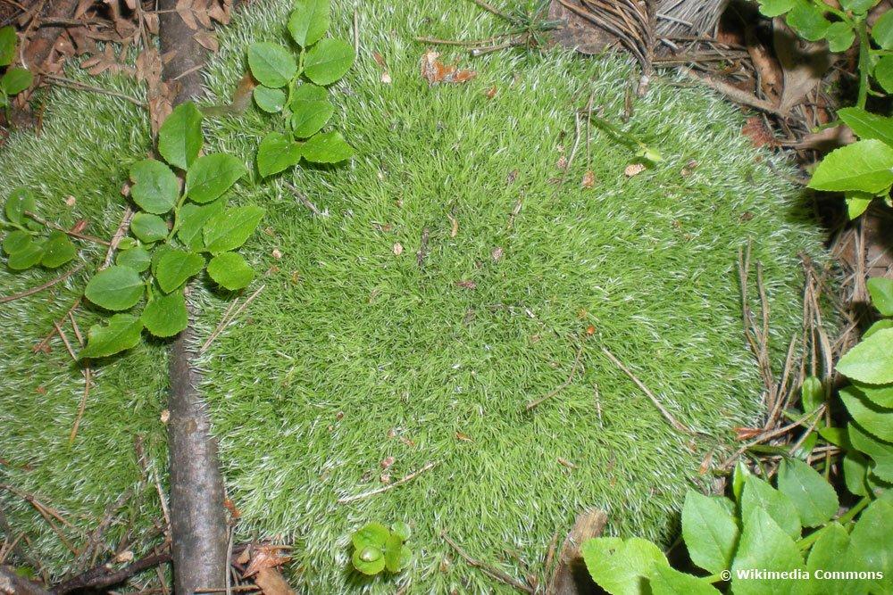 Gemeines Weißmoos, Leucobryum glaucum
